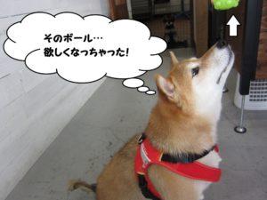 上向き柴犬