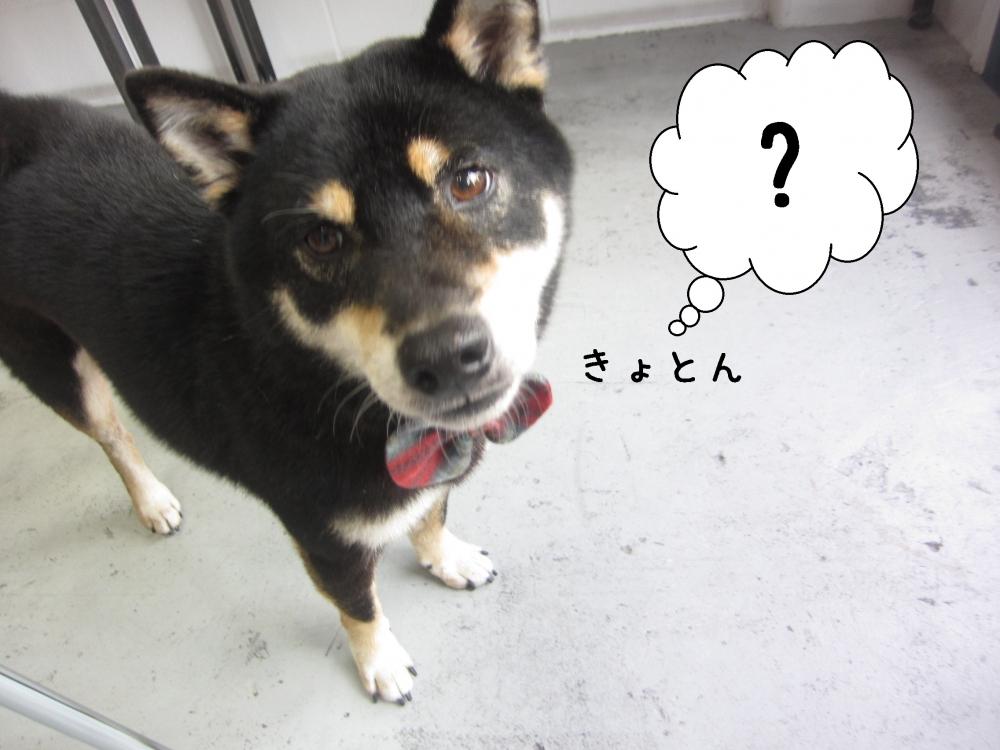 キョトン柴犬