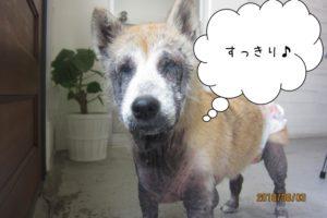 すっきり施術後柴犬