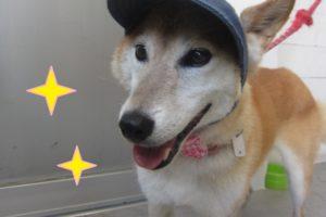 帽子施術後柴犬