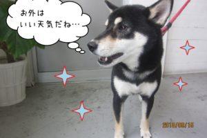 横顔のキラキラ柴犬ちゃん