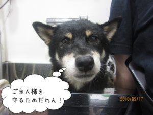 スパ中の黒い柴犬ちゃん