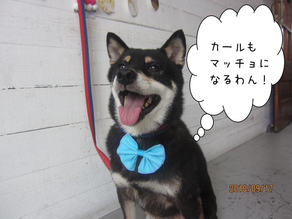 笑顔の黒柴犬ちゃん