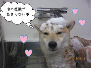 スパ中柴犬ちゃん