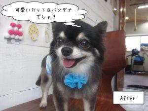青リボンチワワちゃん