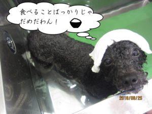 スパ中黒トイプードル