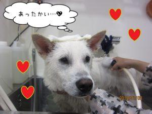 シャンプー中紀州犬