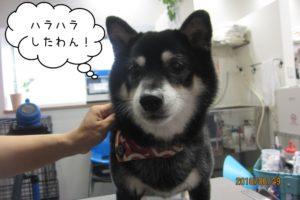 無表情柴犬