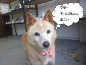 きょとん柴犬