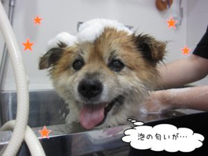 シャンプー中ミックス犬