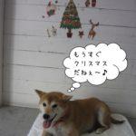 クリスマス笑顔柴犬