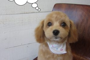子犬トイプードル