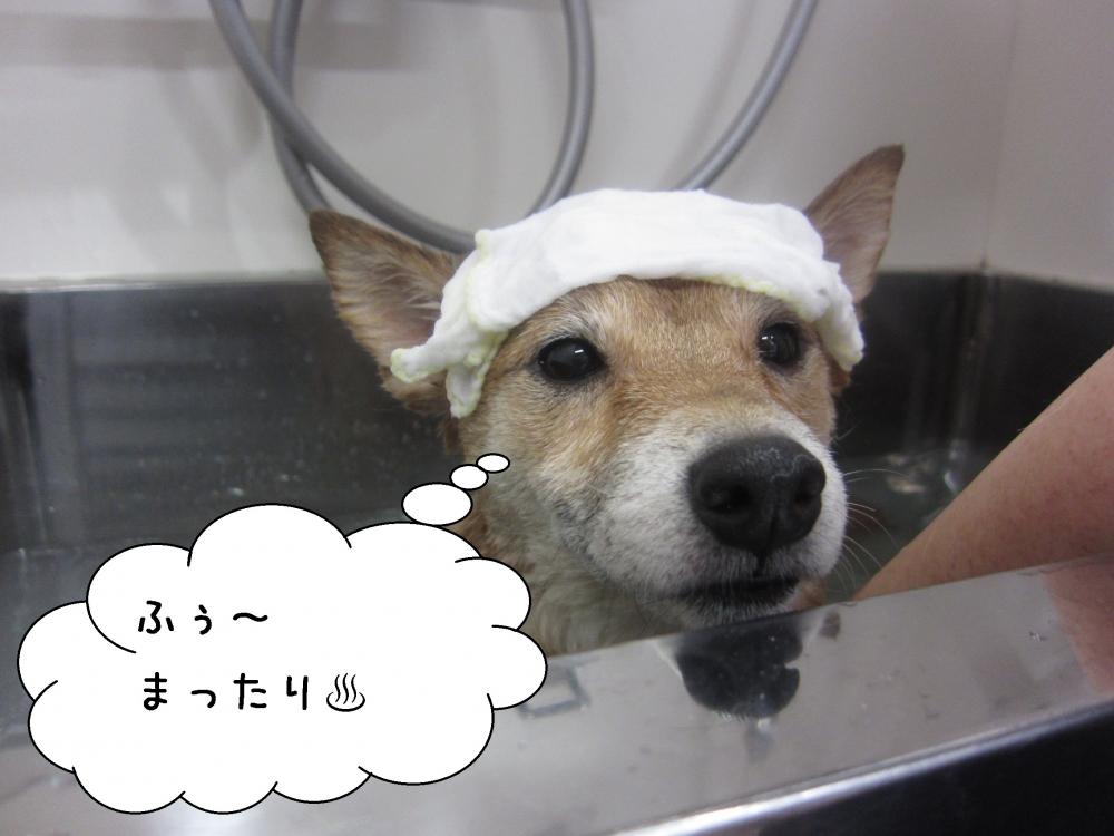 まったり柴犬