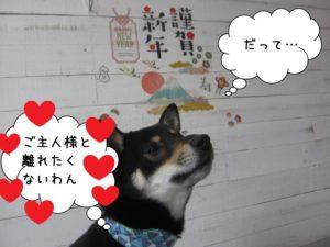 見上げる謹賀新年黒柴犬