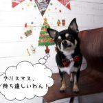 クリスマスおすましチワワ
