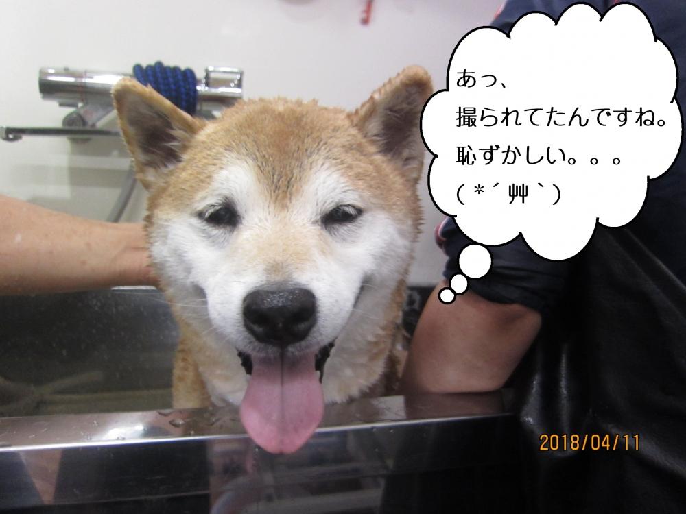 スパ中笑顔柴犬