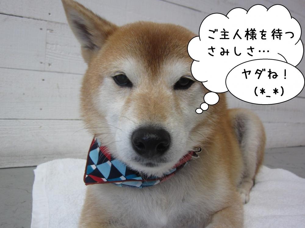 寂しそうな柴犬