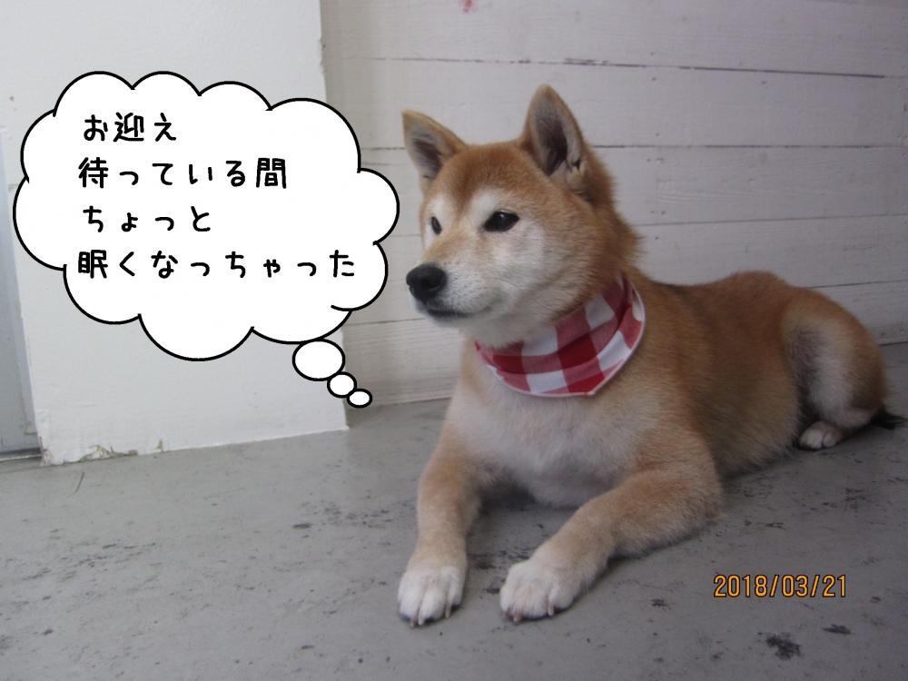 おすわりゆったり柴犬