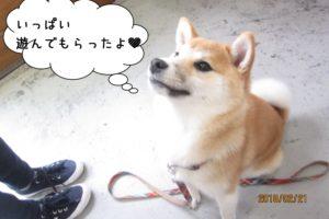 おすわり柴犬赤ちゃん