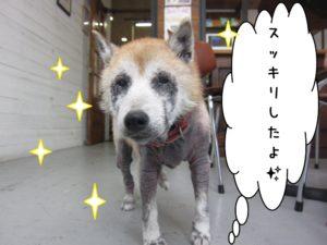 おすまし柴犬