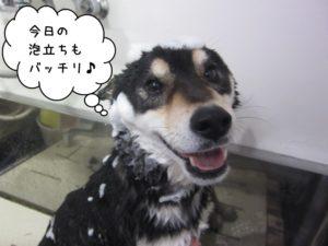 シャンプー中黒柴犬
