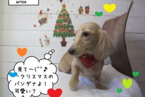 クリスマスご機嫌ミニチュアダックス
