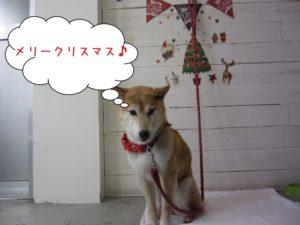 クリスマス柴犬