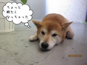 のんびりくつろぎ柴犬