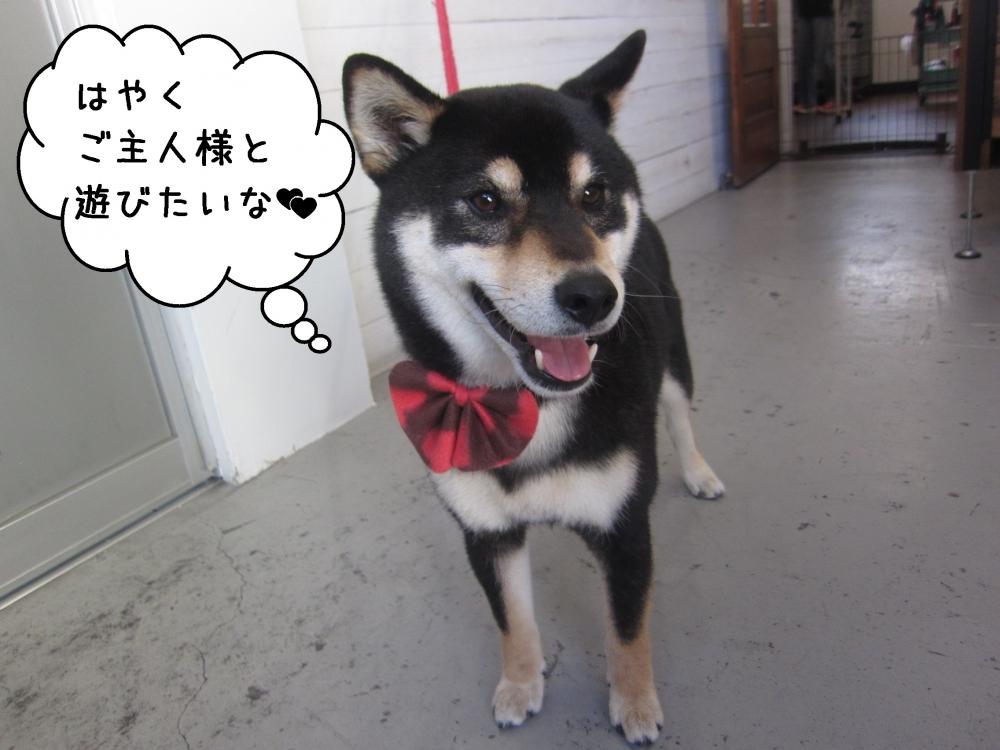 笑顔黒柴犬