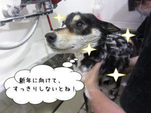 スパ中黒柴犬