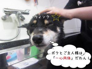 ウィンク柴犬