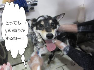 シャンプー中柴犬