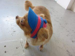 帽子チワワ
