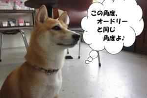 斜め45度柴犬