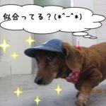お散歩ミニチュアダックス