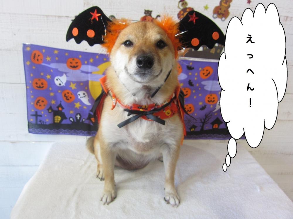 お耳大きな柴犬