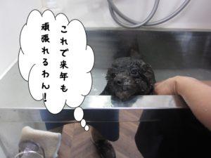 ちゃぷちゃぷトイプードル