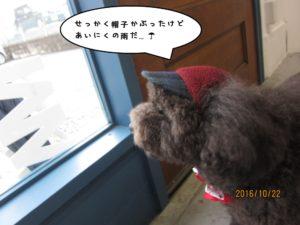 窓際トイプードル