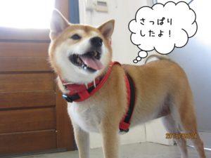 施術後柴犬