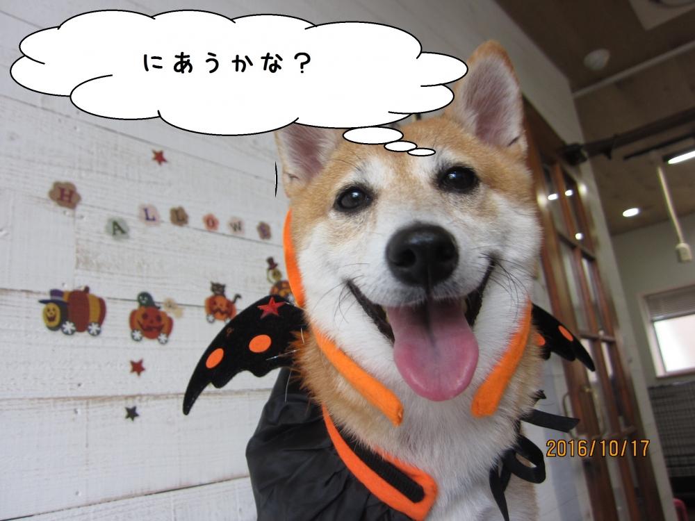 ハロウィン柴犬