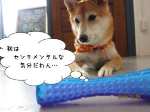 センチメンタル柴犬
