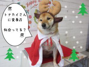 サンタさん柴犬