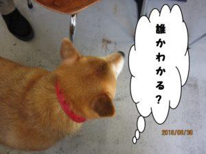 施術前柴犬