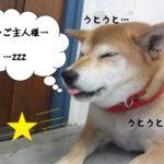 おねむ柴犬