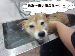 スパ中柴犬