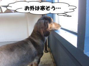 窓際ミニチュアダックス