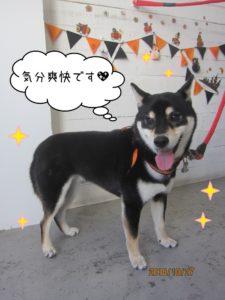 笑顔ハロウィン柴犬