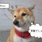 にっこり柴犬