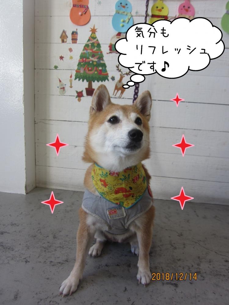 クリスマス豆柴