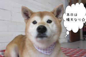 えっへん柴犬